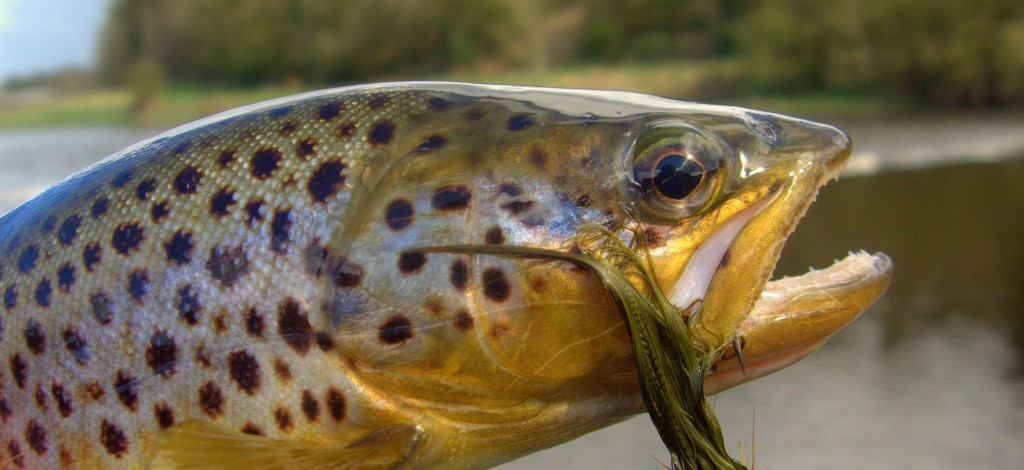 Ireland Brown Trout