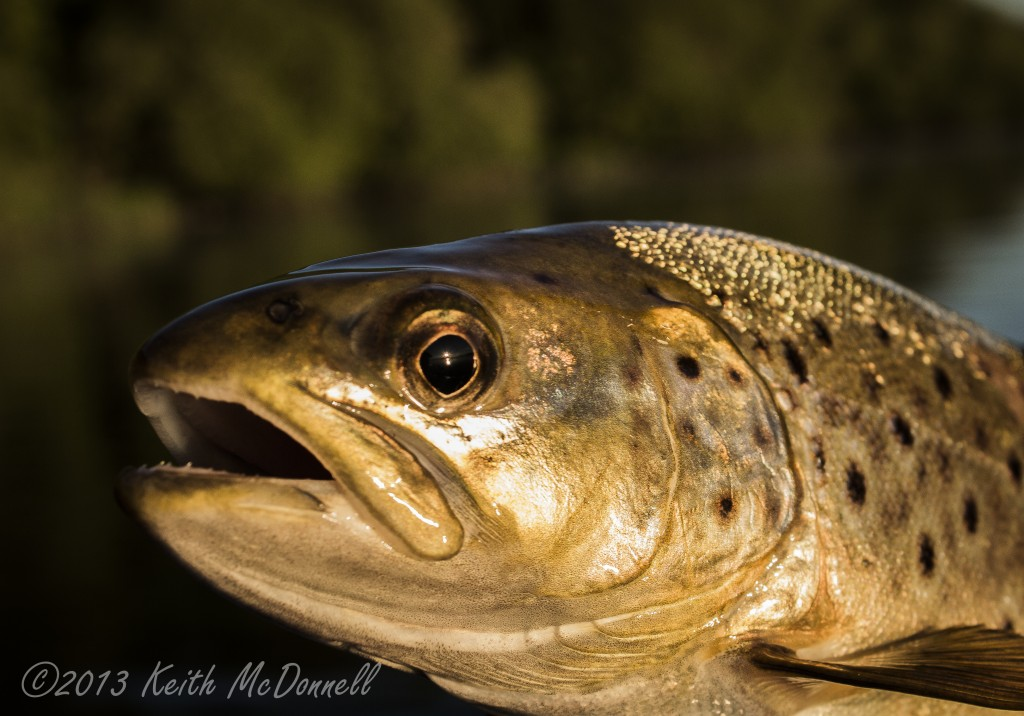 Brown trout head