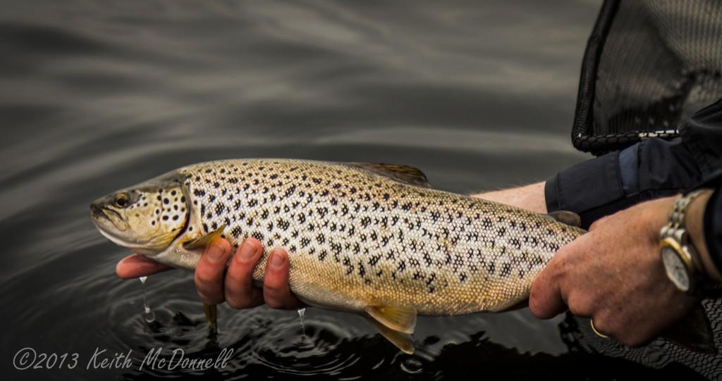 Wild Irish Trout on dry Mayfly