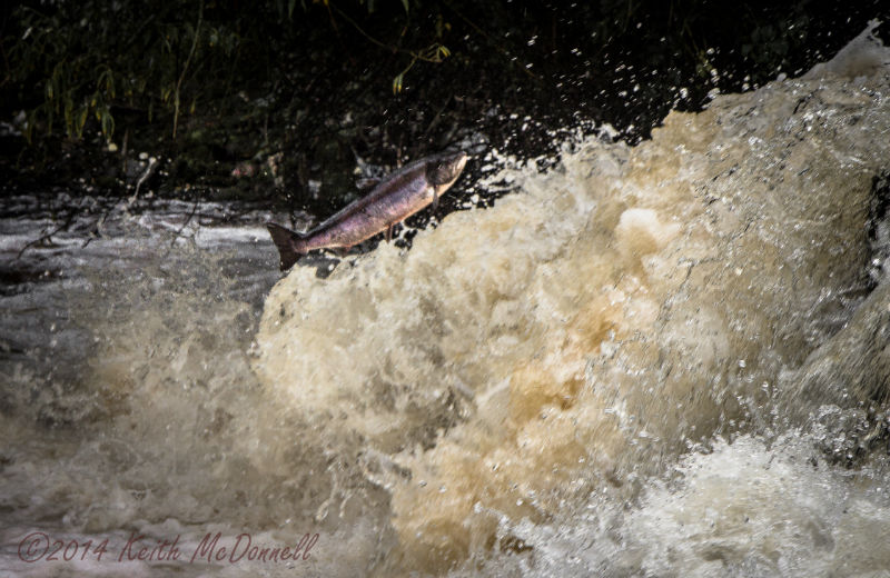 leaping atlantic Salmon Ireland