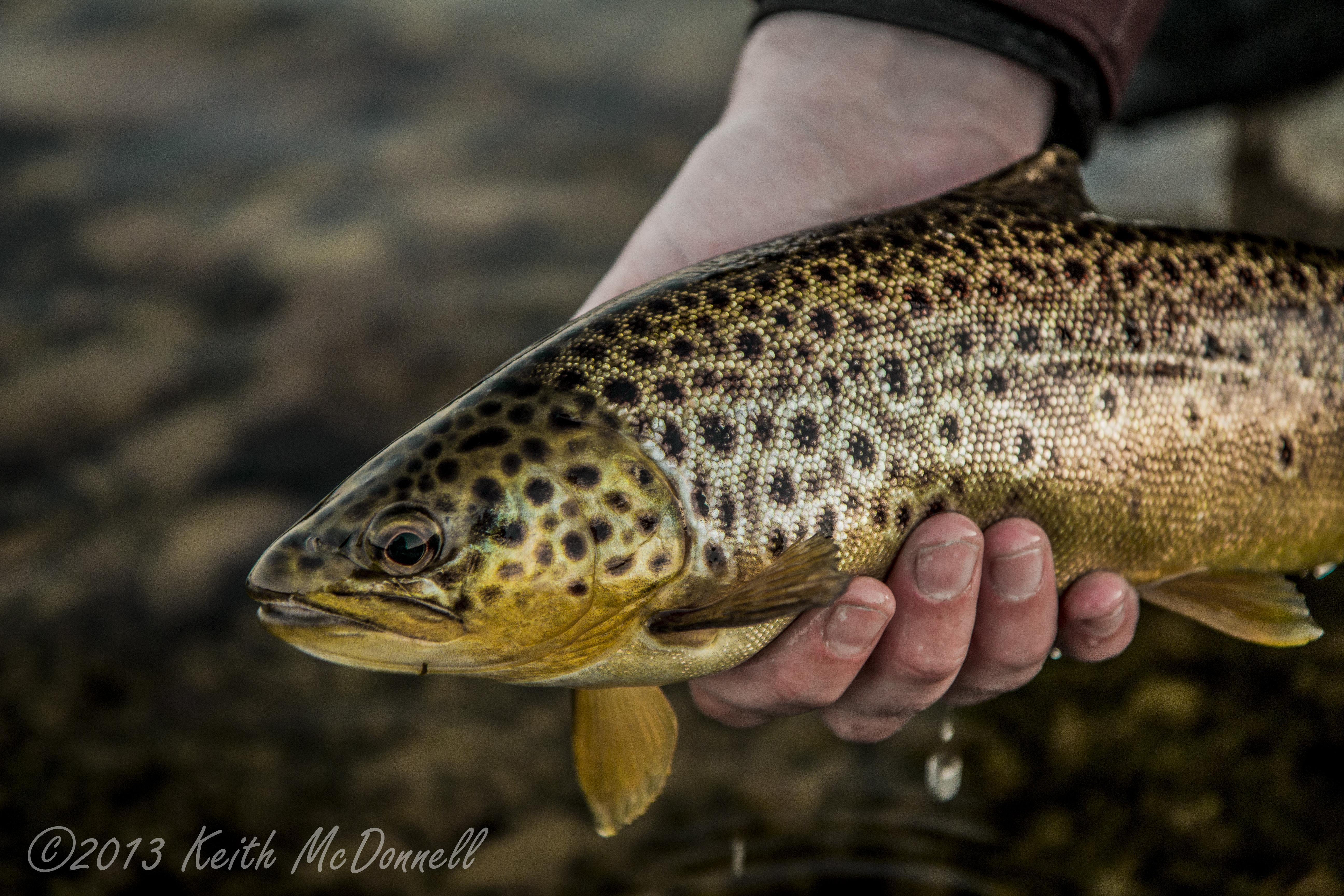 Irish trout head