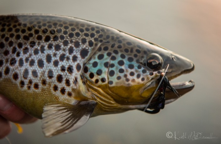 stunning Irish brown trout