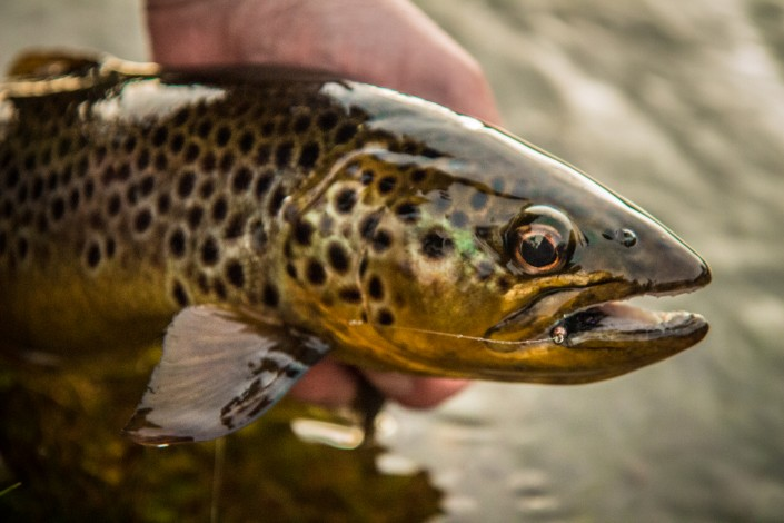 trout fishing Ireland 2015
